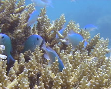 Blue green chromis hiding and schooling, Chromis viridis, UP13400 Stock Footage