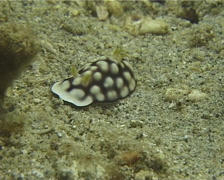Geometric brown headflapper slug walking, Chromodoris geometrica, UP13402 Stock Footage