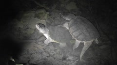 Amid Nature Pair Of Common Snapping Turtles in Love Stock Footage