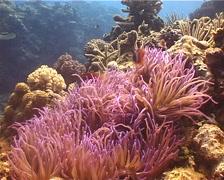 Leathery sea anemone swaying, Heteractis crispa, UP13446 - stock footage