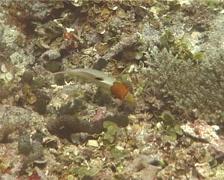 Juvenile Bicolor parrotfish feeding, Cetoscarus bicolor, UP13457 Stock Footage