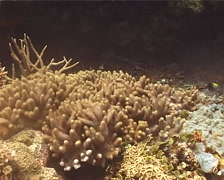 Ghost coral retracting, Cladiella sp. Video 13462. Stock Footage