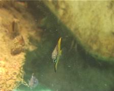 Juvenile Diamondfish swimming, Monodactylus argenteus, UP13469 Stock Footage