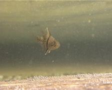 Orbicular cardinalfish hovering, Sphaeramia orbicularis, UP13471 Stock Footage