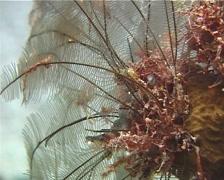 Brown stinging hydroid swaying, Macrorhynchia phoenicea, UP13501 Stock Footage
