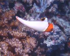 Juvenile Bicolor parrotfish swimming, Cetoscarus bicolor, UP13523 Stock Footage