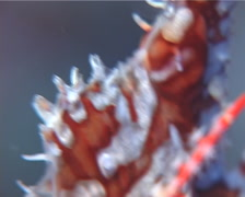 Female adult Ornate ghost pipefish hovering, Solenostomus paradoxus, UP13560 Stock Footage