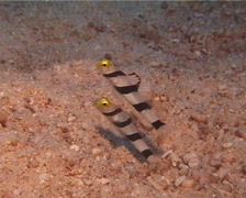 Yellownose shrimpgoby feeding, Stonogobiops xanthorhinica, UP13573 Stock Footage