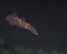 Reef squid swimming in blackwater at night, Sepioteuthis lessoniana, UP13633 Stock Footage