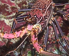 Stripe-leg spiny lobster walking at night, Panulirus femoristriga, UP13665 Stock Footage