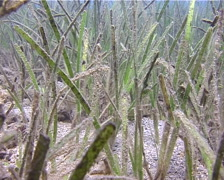 Flat blade sea grass photosynthesising, Cymodocea serrulata, UP13691 Stock Footage