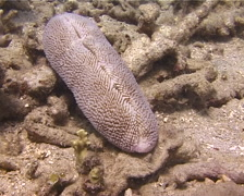 Slipper coral, Ctenactis sp. Video 13708. Stock Footage