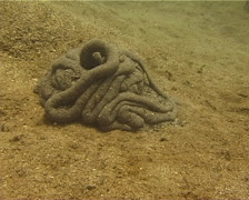 Acorn worm, Balanoglossus carnosus, UP13725 - stock footage