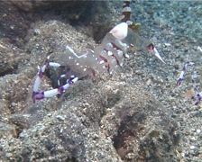 Jelly shrimp wobbling, Periclimenes holthuisi, UP13731 Stock Footage
