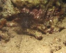 Banded diadem urchin walking at night, Diadema savignyi, UP13747 Stock Footage