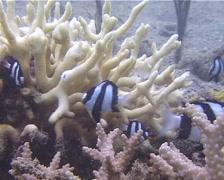 Humbug swimming and schooling, Dascyllus aruanus, UP13749 Stock Footage