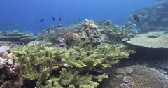 Ocean scenery pristine hard coral garden with 100% cover of mature and diverse Stock Footage
