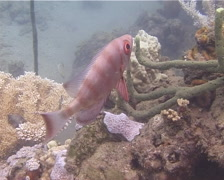 Crescent-tail bigeye hovering, Priacanthus hamrur, UP13753 Stock Footage