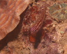 Red and white-spotted pygmygoby, Eviota prasites, UP13791 Stock Footage