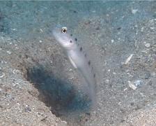Ambanoro shrimpgoby hovering, Vanderhorstia ambanoro, UP13785 Stock Footage