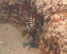 Juvenile Highfin grouper hovering, Epinephelus maculatus, UP13829 Stock Footage