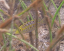 Juvenile Yellowfin emperor swimming on seagrass meadow, Lethrinus Stock Footage
