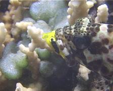 Longfin rockcod feeding, Epinephelus quoyanus, UP13831 Stock Footage