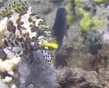 Longfin rockcod feeding, Epinephelus quoyanus, UP13830 Stock Footage