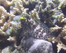 Longfin rockcod feeding, Epinephelus quoyanus, UP13833 Stock Footage