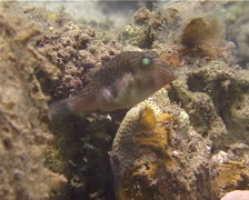 Bennett's toby hovering, Canthigaster bennetti, UP13859 Stock Footage