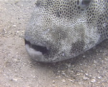 Star pufferfish cleaning and being cleaned, Arothron stellatus, UP13864 Stock Footage