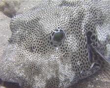 Star pufferfish cleaning and being cleaned, Arothron stellatus, UP13865 Stock Footage