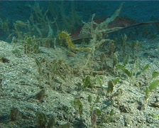 Thorny seahorse at dusk, Hippocampus histrix, UP13876 Stock Footage