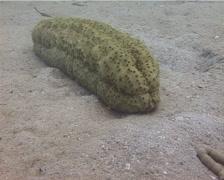 Yellow brown sea cucumber, Stichopus variegatus, UP13904 - stock footage
