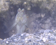 Pink-spotted shrimpgoby behaving nervously, Cryptocentrus leptocephalus, UP13920 Stock Footage