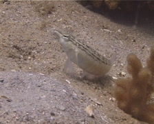 Southern sharpnose sandperch looking around, Parapercis australis, UP13968 Stock Footage