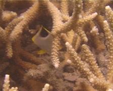 Juvenile Saddled butterflyfish feeding, Chaetodon ephippium, UP13950 Stock Footage