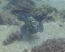 Camouflage grouper swimming, Epinephelus polyphekadion, UP13970 Stock Footage