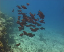 Crescent-tail bigeye swimming and schooling, Priacanthus hamrur, UP13981 Stock Footage
