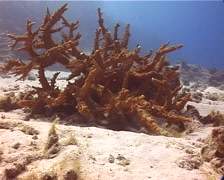 Stout irregular branching coral, Acropora florida, UP13989 Stock Footage