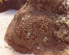 Honeycomb coral, Favites pentagona, UP13991 Stock Footage