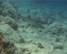 Whitetip reef shark swimming, Triaenodon obesus, UP13999 Stock Footage