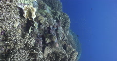 Vertical display shot of ocean scenery pristine hard coral garden swarming with Stock Footage