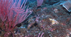 Juvenile Lyretail hogfish swimming on coral reef at night, Bodianus anthioides, Stock Footage