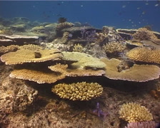 Adults and juveniles Mixed hard coral garden on shallow coral reef, Acropora Stock Footage