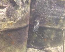 Banded sergeant swimming, Abudefduf septemfasciatus, UP14090 Stock Footage