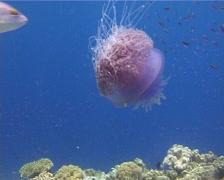 Crown sea jelly swimming, Netrostoma setouchina, UP14104 Stock Footage