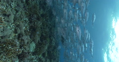 Vertical display shot of Bigeye trevally swimming and schooling on shallow coral Stock Footage