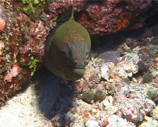 Giant moray on cleaning station, Gymnothorax javanicus, UP14135 Stock Footage
