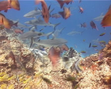 Grey reef shark feeding in fish feeding arena, Carcharhinus amblyrhynchos, Arkistovideo